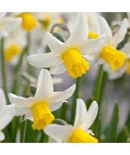 Narcissus Jack Snipe (9cm)