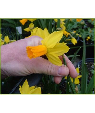 Narcissus Jetfire (1 x bulb)
