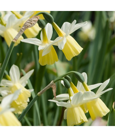 Narcissus Lemon Drop (4lt)
