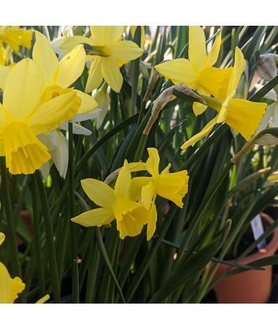 Narcissus Lemon Sailboat (bulb)