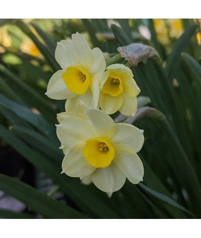 Narcissus Minnow 1 x bulb