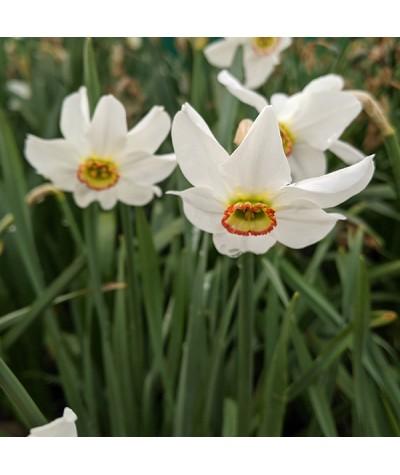Narcissus poeticus var. recurvus  (1 bulb)