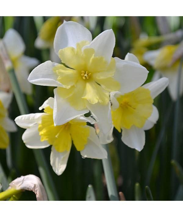 Narcissus Prom Dance (2lt)
