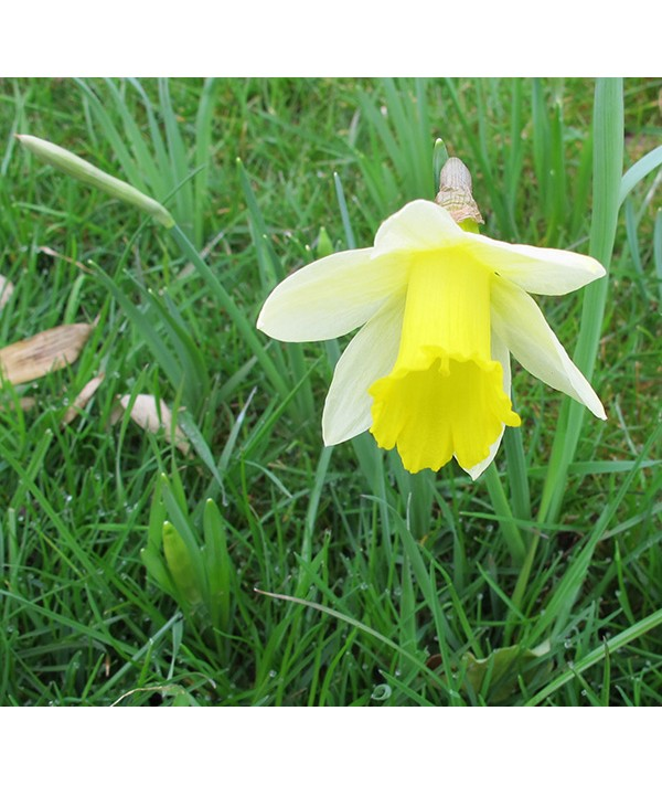 Narcissus pseudonarcissus (2lt)