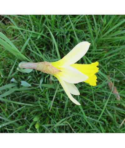 Narcissus pseudonarcissus (1lt)