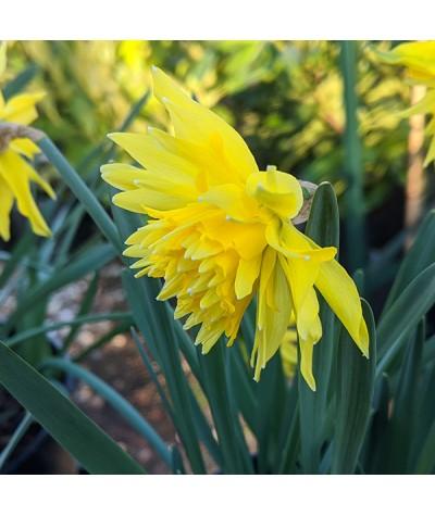 Narcissus Rip van Winkle (1 x bulb)