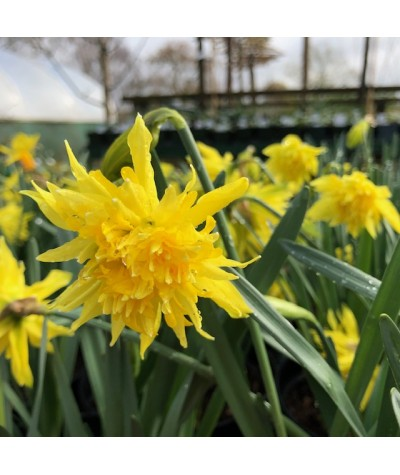 Narcissus Rip van Winkle (2lt)