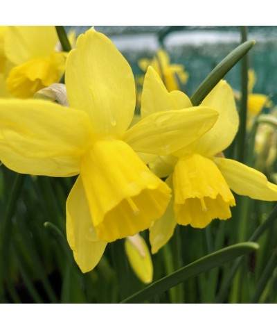 Narcissus Lemon Sailboat (2lt)