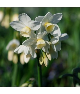 Narcissus Silver Chimes (9cm)