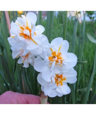 Narcissus Sir Winston Churchill (4lt)