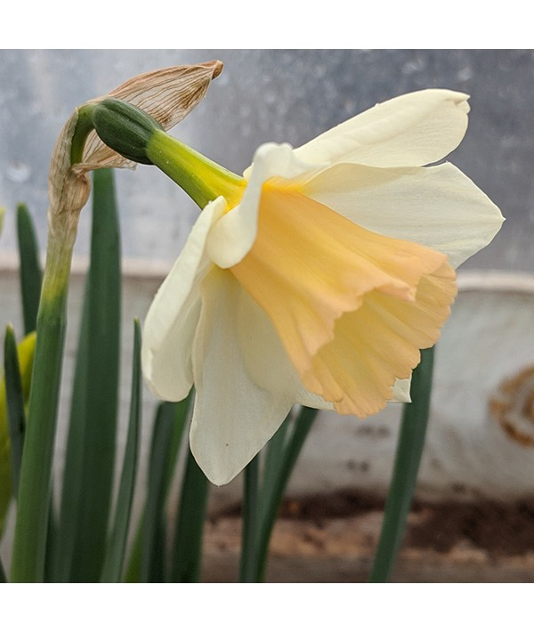 Narcissus Sweet Smiles (2lt)