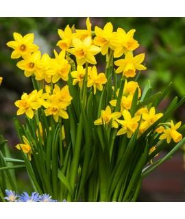Narcissus Tete-a-tete (2lt)