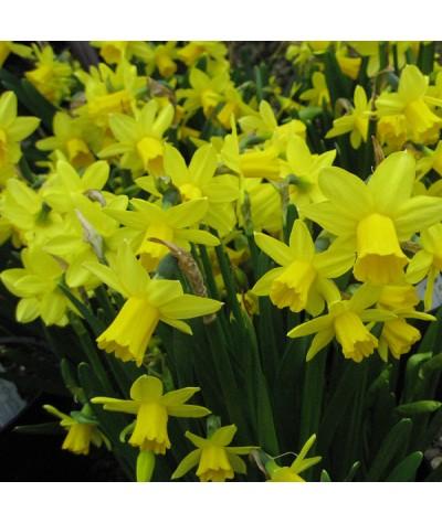 Narcissus Tete-a-tete (1x bulb)