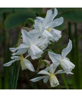 Narcissus Thalia (9cm)