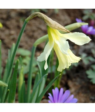 Narcissus W.P.Milner (2lt)
