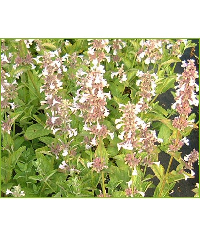 Nepeta grandiflora Dawn To Dusk (1lt)