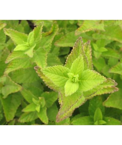 Nepeta latifolia Super Cat (1lt)