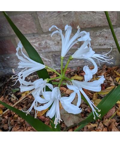 Nerine bowdenii Bianca Perla (2lt)