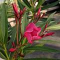 Nerium oleander Emil Sahut (3lt)