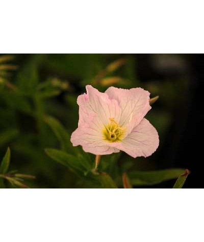 Oenothera speciosa Siskiyou (1lt)
