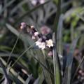 Ophiopogon planiscapus Nigrescens (1lt)