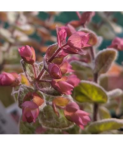 Origanum calcarata tournefortii (1lt)