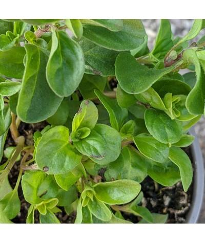 Origanum marjorana (sweet marjoram) (0.75lt)