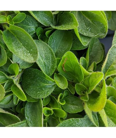 Origanum vulgare Compactum (Margoram) (1lt)