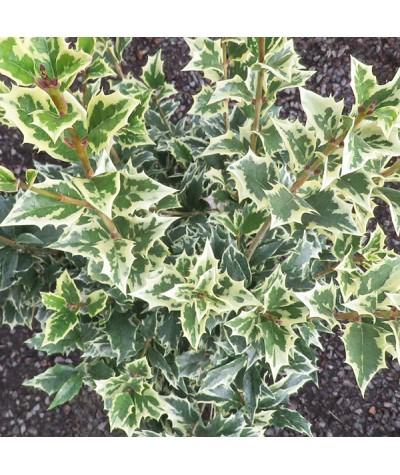 Osmanthus heterophyllus Variegatus (5lt)
