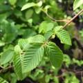 Ostrya carpinifolia (36lt)