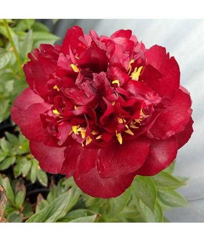 Paeonia Buckeye Belle (3lt)