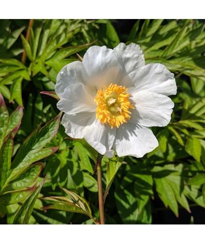 Paeonia Early Windflower (emodi) (3lt)
