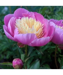 Paeonia lactiflora Bowl of Beauty (3lt)
