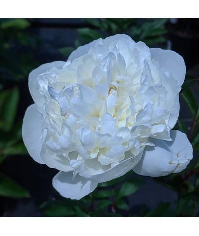Paeonia lactiflora Duchesse de Nemours (3lt)