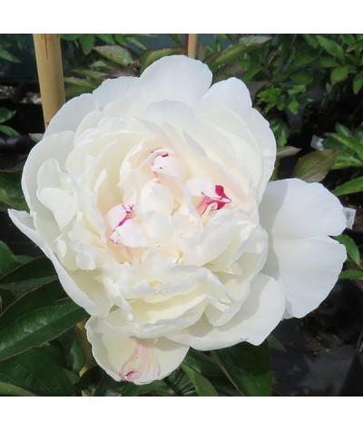 Paeonia lactiflora Festiva Maxima (3lt)