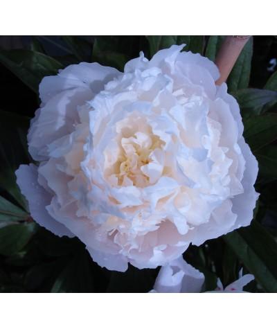 Paeonia lactiflora Florence Nicholls (3lt)