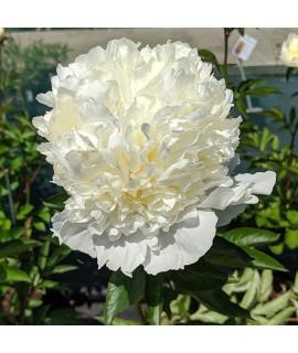 Paeonia lactiflora Laura Dessert (3lt)