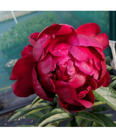 Paeonia lactiflora Peter Brand (3lt)
