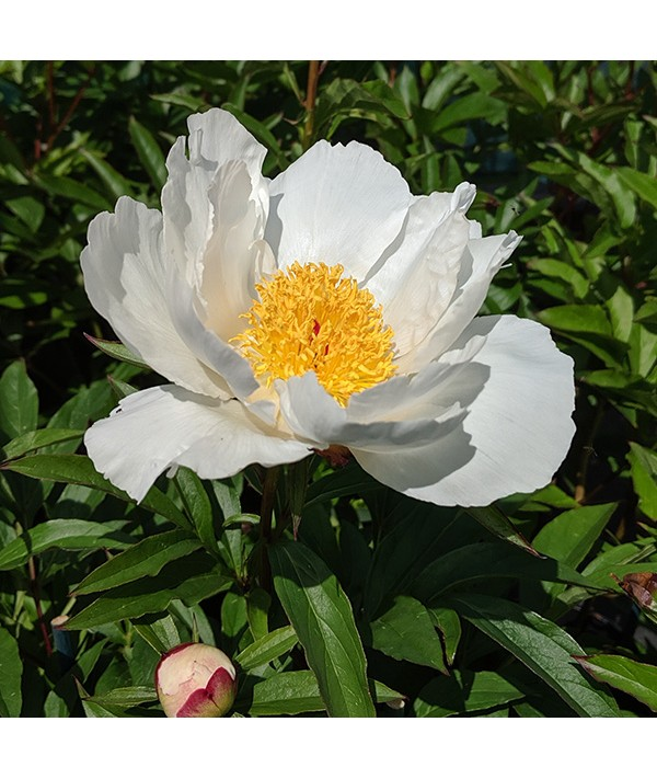 Paeonia lactiflora White Wings (3lt)
