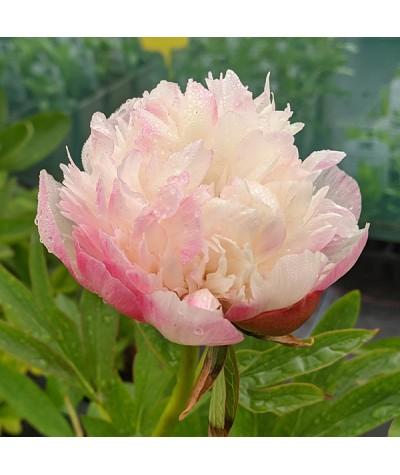 Paeonia officinalis Rosea Plena (3lt)
