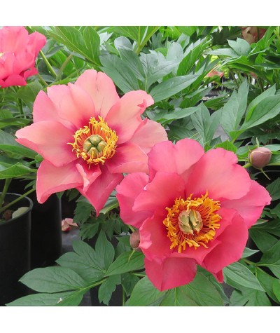 Paeonia Old Rose Dandy (7lt)