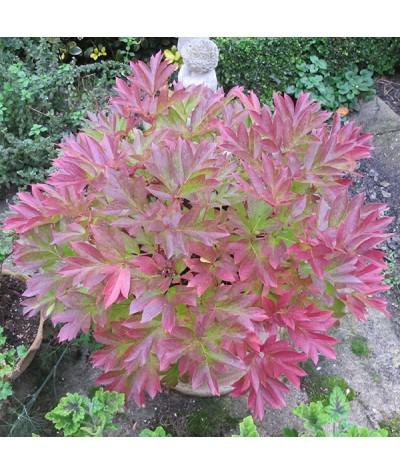 Paeonia Pastel Splendor (7lt)