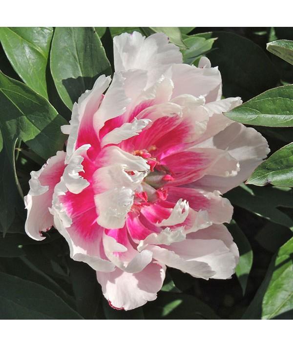 Paeonia Raggedy Ann (7lt)