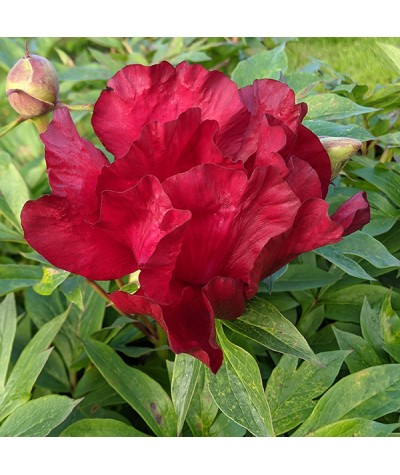 Paeonia Scarlet Heaven (6lt)