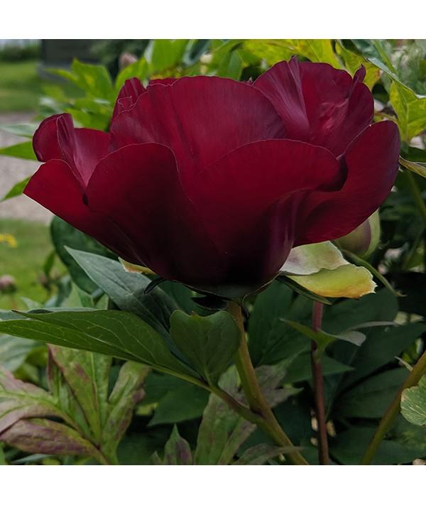 Paeonia Scarlet Heaven (4lt)