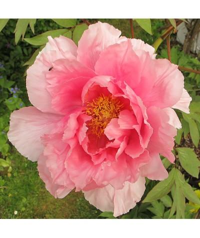 Paeonia suffruticosa pink (7lt)