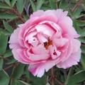 Paeonia suffruticosa Hanakisoi (3lt)