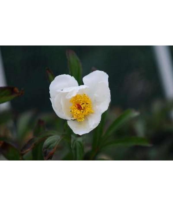 Paeonia lactiflora White Wings (3lt)