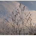 Panicum virgatum Shenandoah (1lt)