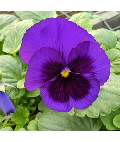 Viola Blue Blotch (Pansy) 6 Pack